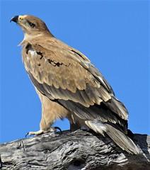 TAWNY EAGLE (BillyBalloonHead) Tags: eagle tawnyeagle botwana birds africa