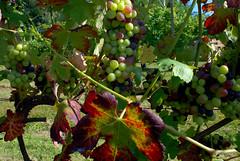 VIGNE A MARANO T. (Ferdinando Tubito) Tags: vite vino frutta allegria compagnia cantine campagna cielo piemonte colline novaresi