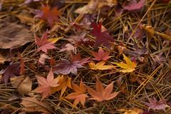 L1002267 (hajime okutani) Tags: 2018 japan leicamp teleelmarit12890 tokyo hiver momiji winter