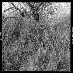 Fejø (tiltdesign2016) Tags: fejø fejo dänemark denmark ilfordhp5400asa 400800 analogphotography bw mittelformat yashicamat124g ilfordilfosol319 natur
