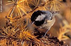 Cincia mora (silvano fabris) Tags: canonphoto wildlife photonature nature animals birds uccelli cinciamora