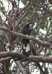 Yellow tailed black cockatoo, Lake Conjola (RossCunningham183) Tags: lakeconjola nsw australia yellowtailedblackcockatoo cockatoo bird