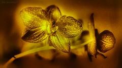 Angelus Reprobi II (JDS Fine Art Photography) Tags: flower nature inspirational beauty orchid naturalbeauty
