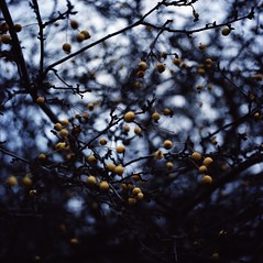 Autumn apples (fromfarbeyond) Tags: 120 format medium photography analogue colour 160vc portra film expired autumn apples planar hasselblad