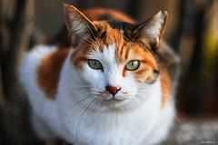 cat (Christine_S.) Tags: straycat calico japan canon eos m5 mirrorless portrait ef50mmf18 neko chat coth5 calicocat
