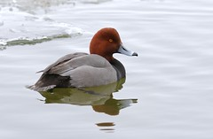 Glance (Slow Turning) Tags: aythyaamericana redhead duck bird swimming water lake ice winter southernontario canada male