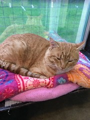 Red - 3 year old neutered male