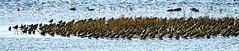 Golden Plover (ianbartlett) Tags: 365 outdoor wildlife nature birds flight monochrome sea sand water dogs groynes drone landscape light colour seal