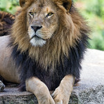 Male lion posing thumbnail