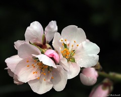 So schön kann Mandelblüte sein... Almond blossom can be so beautiful ... (Mike Reichardt) Tags: dwwg almondblossom almondtree palatinate pfälzerweinstrasse macro makro closeup colors colorful close nahaufnahme natur nature nebel flower flowerpower blume blüte blossom weinstrasse pfalz