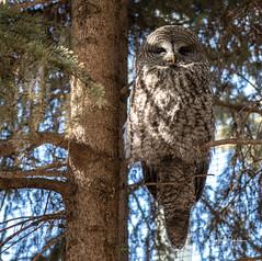 IMG_0489 (Scott Martin - Photographer) Tags: calgaryzoo calgary alberta canada animals birds bird owl barnowl