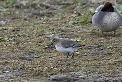 Dunlin (Calidrus) Tags: birds birdwatching birding ornithology wildlife nature wader shorebird rspb titchwell norfolk sandpiper dunlin