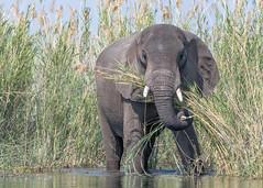 African Savanna Elephant (tickspics ) Tags: africa lowerzambezi africanelephant zambia bushelephant elephantidae iucnredlistvulnerable loxodontaafricana mammalia proboscidea savannaelephant