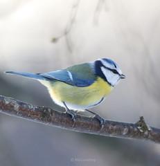 Eurasian blue tit | sinitiainen (Piia | Nature photography) Tags: eurasianbluetit sinitiainen bird lintu birdphoto lintukuva finland
