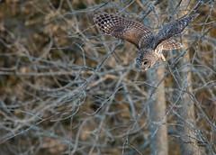 Barred Owl on the hunt (CharlesHastings) Tags: presquilepark birdsofprey wilfdlife barredowl birds owl wildlife nature