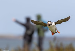 I'm sure it went that way! (Steve (Hooky) Waddingham) Tags: stevenwaddinghamphotography animal coast sea bird british nature northumberland flight fish farnes wild wildlife puffin