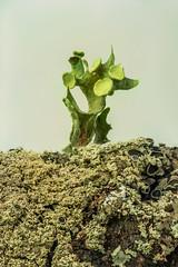 Macro Lichen (1805) 1 of 3 series [Speckled Plant] (jim fleckenstein) Tags: moss lichen closeup macro 100mm canon microlichen stack imagestack speckledplant macromondays picktwo