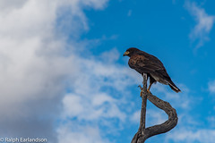 Raptor at Rest (Ralph Earlandson) Tags: bird harrishawk arizona raptor arizonasonoradesertmuseum tucson clouds