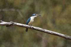 Sacred Kingfisher (Luke6876) Tags: sacredkingfisher kingfisher bird animal wildlife australianwildlife