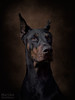 How to be a supermodel (Marijke van Endhoven) Tags: dark doberman dobermanpincher dobermann dogphotography dogportrait donker canine pet pets animal animals blackandtan hond honden hondenportret nikon sigma loyal trouweviervoeter bestfriend schutzhund