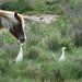 pony and egrets