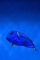 Dory. (LisaDiazPhotos) Tags: birch aquarium la jolla lisadiazphotos san diego dory