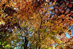Multi Colored Maple (Gene Ellison) Tags: tree maple red yellow orange green brown purple deep fallcolor autumn naturephotography velvia fujifilm sooc