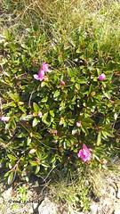 Flowers up in Bucegi mountains, Romania (cod_gabriel) Tags: bucegi bucegimountains muntiibucegi platoulbucegilor cota2000 sinaia carpathians carpaţi carpazi carpathianmountains flower flori vodafone vodafonesmartultra6