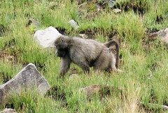 Bärenpavian (naturgucker.de) Tags: ngidn1294878897 papioursinus bärenpavian