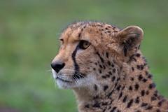 Gepard (Mel.Rick) Tags: zoo tiere animals natur nature raubtiere carnivora raubkatzen grosundkleinkatzen kleinkatzen gepard acinonyxjubatus allwetterzoomünster säugetiere mammals