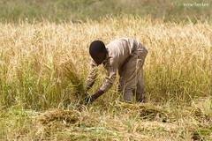 Rice Harvest (Irene Becker) Tags: africa arewa imagesofnigeria kaduna kadunastate nigeria nigerianimages nigerianphotos northnigeria westafrica harvest northernnigeria rice