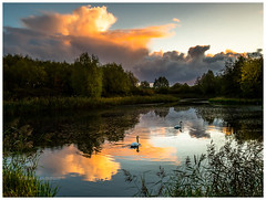 Two Swans a Swimming (Mark Lindstrom) Tags: waterfowl birds nature watersedge sky dramatic reflection 818 leica panasonic em1mk2 olympus northlincolnshire bartonuponhumber water pond swans sunrise