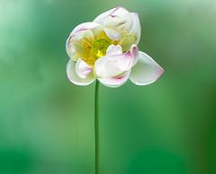 Meditation (12bluros) Tags: lotusflower flower floral flora canonef100mmf28lmacroisusm nelumbo