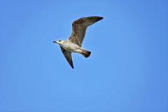 Vol 2 (thierrybalint) Tags: oiseau oiseaudemer bird gabian ciel sky envol balint thierrybalint flight borely marseille
