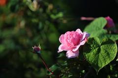 IMG_9250 - Morning Rose (Bob90901) Tags: morning rose portland maine autumn flower light communitygarden depthoffield sooc rpg90901 dof pink green fall canon 6d canonef70200mmf28lisiiusm canon70200f28lll 2018 october 0822