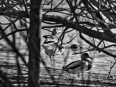 A la pata coja (Luicabe) Tags: agua airelibre animal árbol ave blancoynegro cabello enazamorado exterior laguna luicabe luis monocromático naturaleza ngc oca ondas paisaje pato rama reflejo villafáfila yarat1 zamora zoom