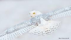Snowy Owl - all eyes (Earl Reinink) Tags: owl snowyowl winter flight bird animal wings nature outdoors earlreinink nikon nikond5 600mm eyes rtadatuata