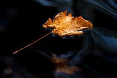 Silent (Karen_Chappell) Tags: leaf one orange nature fall autumn float floating water pond park nfld bowringpark stjohns newfoundland canada atlanticcanada avalonpeninsula eastcoast