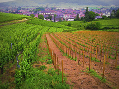 Happy Topaz Friday: Vinyard (Eclectic Jack) Tags: software labs topaz processing processed process post europe colmar france wine country vinyard purple green perspective row