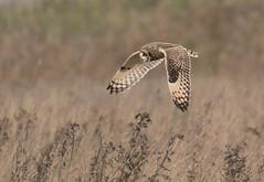 Short Eared Owl, Burwell Fen, Cambridgeshire, UK (1DT) (Nick Bowman1) Tags: fe100400lens ilce9 shortearedowl burwellfen uk cambridgeshire