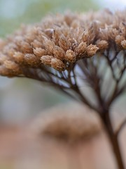 Pflanze (wezetauswe) Tags: mft m43 gf7 panasonicgf7 lumix pflanze herbst autumn braun brown