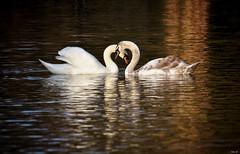 Swan family under the evening light! (Nina_Ali) Tags: muteswans swans swanfamily eveninglight backlight backlit sunset leicester nature light