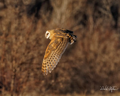 Barn Owl Hunting (dcstep) Tags: dsc5998dxo owl barnowl bif birdinflight flying flight fly wing feathers tan brown sonya9 fe400mmf28gmoss handheld cherrycreekstatepark colorado usa greenwoodvillage allrightsreserved copyright2019davidcstephens dxophotolab221