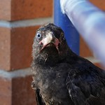Crow chick, watched by its parents, thinks about the jump thumbnail
