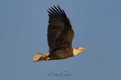No Worries (NikonDigifan) Tags: eagle raptor birdwatching bird baldeagle goldenhour nature naturephotography wildlifephotography wildlife animal nikond500 nikon20050056 mikegassphotography naturesfinest