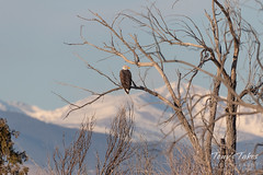 December 17, 2018 - Bald Eagle with the snow-capped mountains. (Tony's Takes)