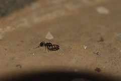 IMG_6061 (Pedro Angel Prados) Tags: hormigas poderosa fuerza hormigero canon eos 600d tamron sp 90mm f28 di vc usd macro11 f004 ƒ35 900 mm 160 400 insecto