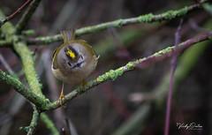 Goldcrest (vickyouten) Tags: goldcrest bird nature wildlife nikon nikond7200 nikonphotography nikkor55300mm britishwildlife sankeyvalleypark warrington uk vickyouten