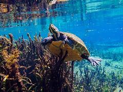 Underbelly on a Suwannee Cooter in the Ichetucknee (Phil's 1stPix) Tags: em5markiiunderwater olympusem5markii olympusppzrep02zoomgear olympusptep13 olympusunderwaterhousing creativecommonsnature creativecommonsunderwater creativecommonswildlife firstpix floridanature phils1stpix wildflorida ichetuckneeriver ichetuckneeriverwildlife ichetuckneestatepark ichetuckneeunderwater suwanneecooter pseudemysconcinnasuwanniensis snorkel turtle cooter floridastatepark floridawildlife geotagged geotag underwaterturtle freshwaterturtle floridaunderwater taxonomy:binomial=pseudemyssuwanniensis floridaspringsnorkeling underwaterspringphotography floridaspring cooterunderwater ichetuckneespringsstatepark ichsprings