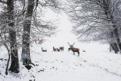 roes and deer searching for food (hjuengst) Tags: winter winterbeauty rehe roes deer hirsch bäume trees schnee snow january januar hjuengst glonn frauenreuth reisenthal münster